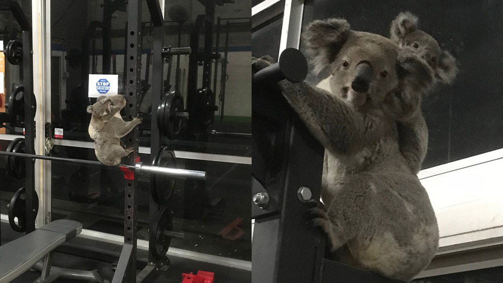 Koala and joey hanging onto gym equipment and The Results Room in Brisbane © Kiriana Giffin / The Results Room