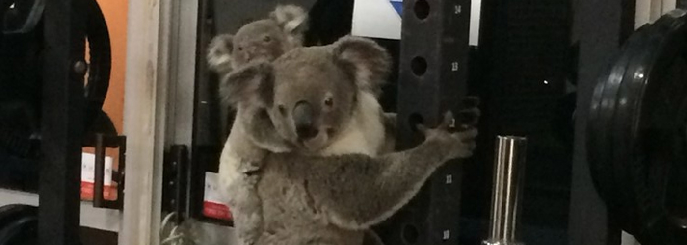 Koala and joey on gym equipment at The Results Room, Brisbane © Kiriana Giffin / The Results Room