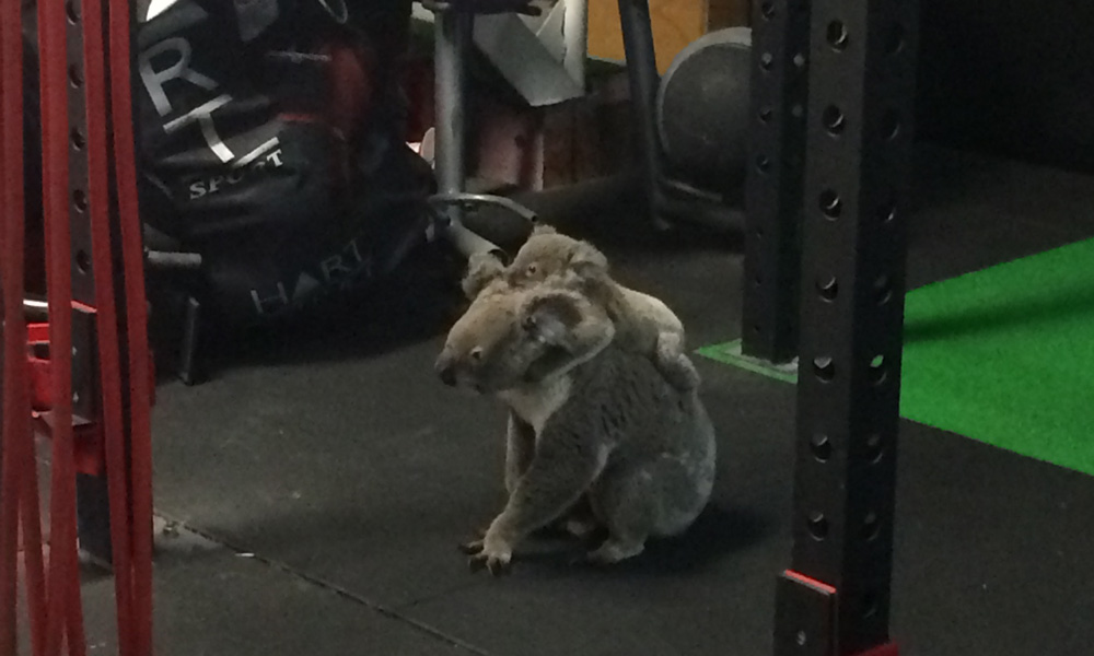 Koala and joey sitting on gym floor at The Results Room in Brisbane © Kiriana Giffin / The Results Room
