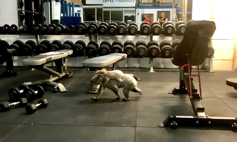 Koala and joey wander across gym floor at The Results Room in Brisbane © Kiriana Giffin / The Results Room