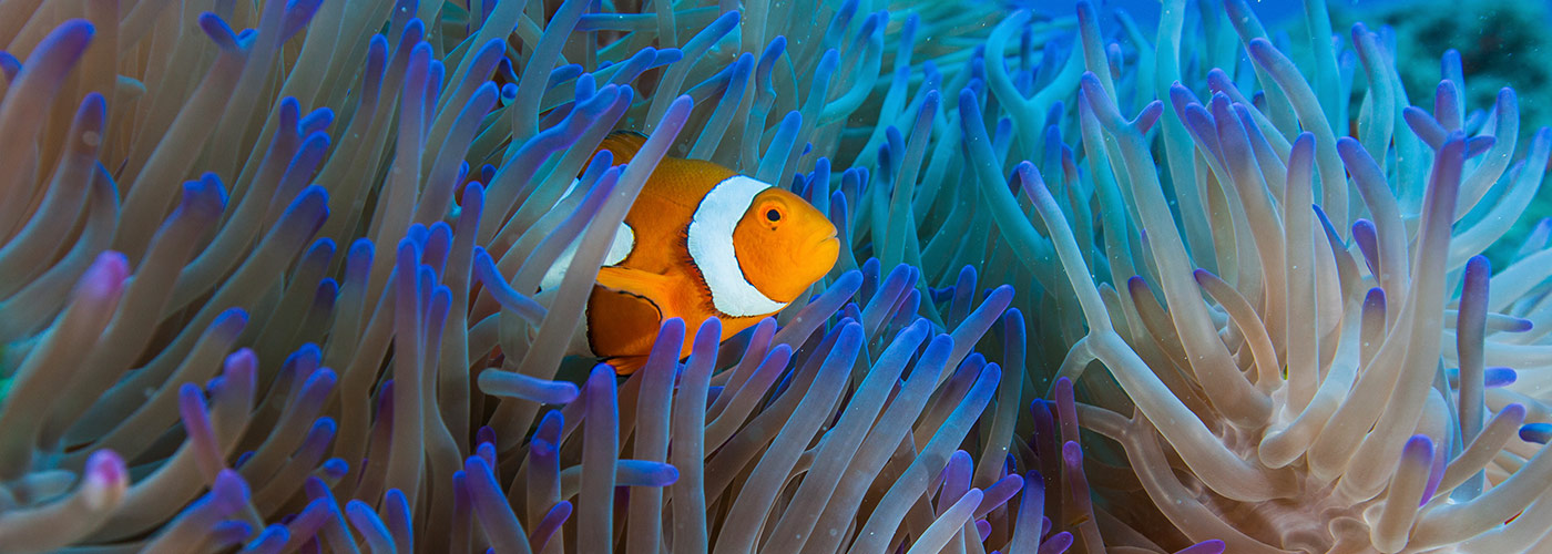 Anemone fish, Steve's bommie, Great Barrier Reef © Mike Ball Dive Expeditions / WWF-Aus