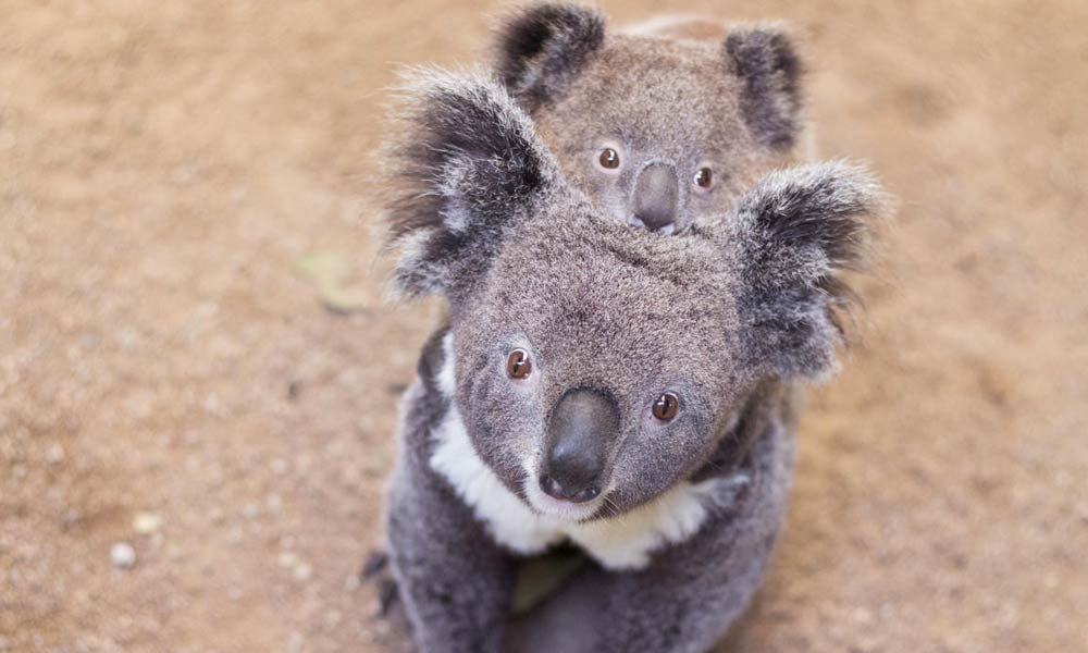 Koala mother and joey © Shutterstock / Libor Fousek / WWF
