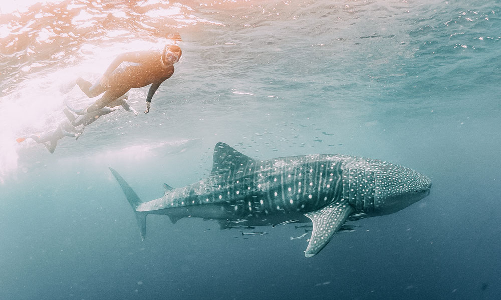 Snorkel with whale sharks in Ningaloo Reef, Western Australia © Intrepid Group