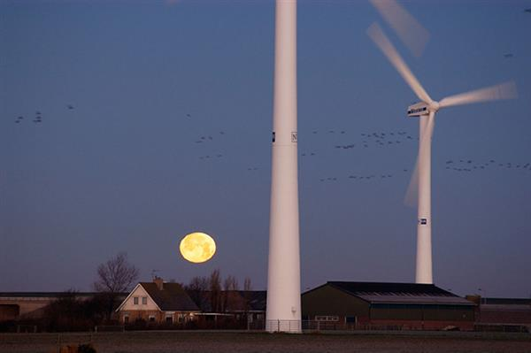 Wind turbines with geese, Netherlands © Michel Gunther / WWF