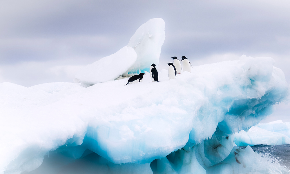 A waddle of Adélie penguins (Pygoscelis adeliae) in the snow, Antarctica © Cheryl Ramalho