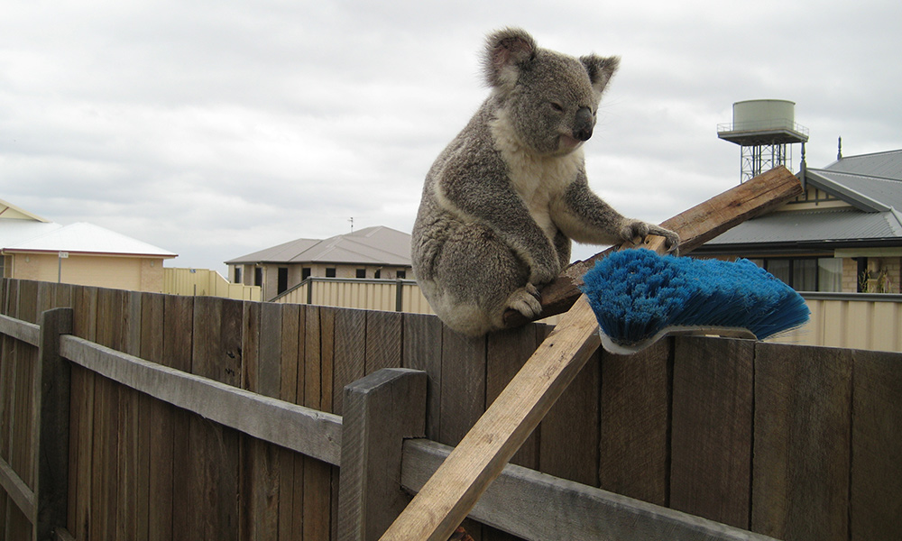Koala taking refuge on suburban fence, southeast Queensland © Clare Gover, Return to the Wild Inc. / WWF-Aus