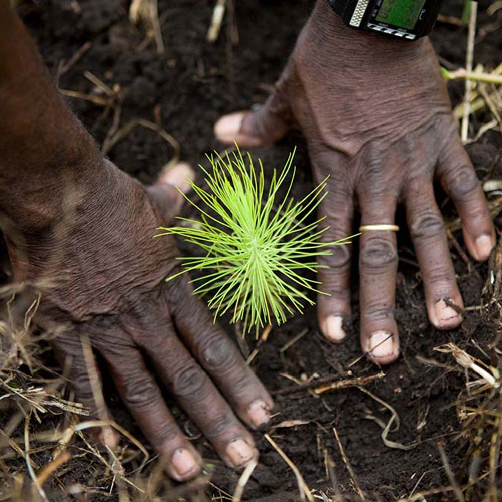 Close up of hands planting tree, Uganda © WWF / Simon Rawles